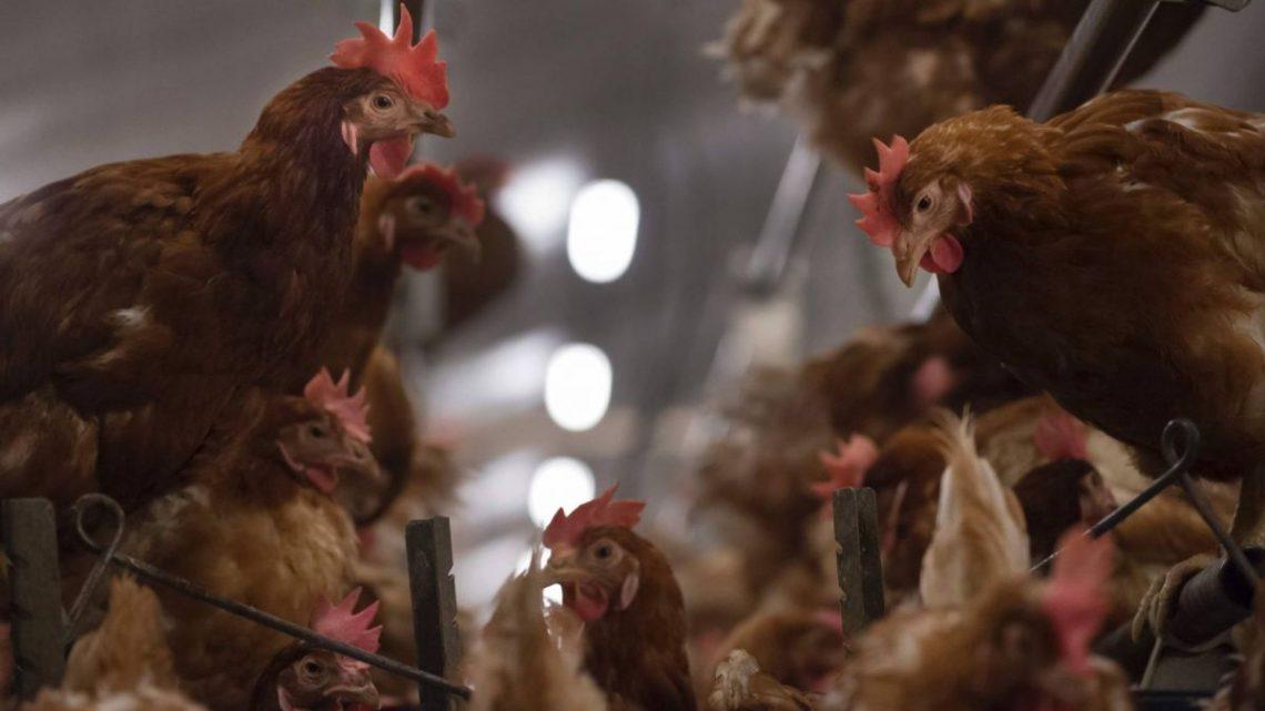 LaProvincia : l'Elevage de Poulet en Roumanie est plus qu'un métier